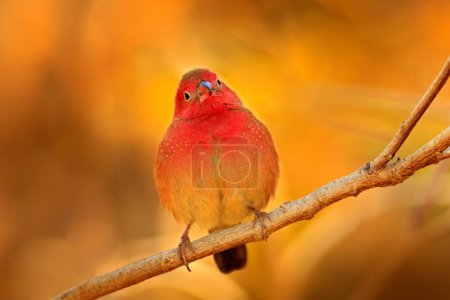 Red-billed firefinch (Lagonosticta senegala) sitting on the branch in nature habitat. Red bird from, Botswana, Africa.