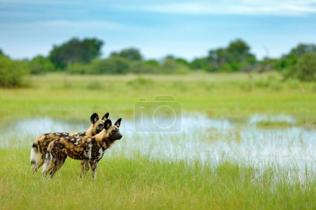 African wild dogs, Lycaon pictus), walking in the water on the road. Hunting painted dog with big ears, beautiful wild anilm in habitat. Wildlife nature, Moremi,  Botswana, Africa. Animal, green grass.