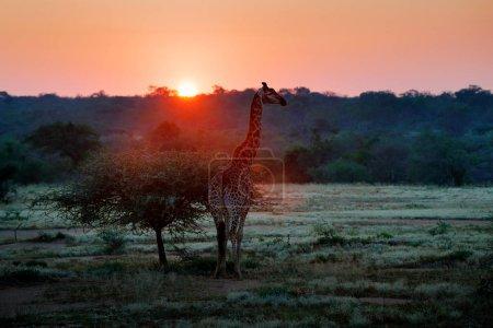 Photo pour Girafe dans la savane pendant le lever du soleil. Végétation verte avec grands animaux. Scène de la faune sauvage de la nature. Lumière du matin dans la forêt, Afrique. - image libre de droit