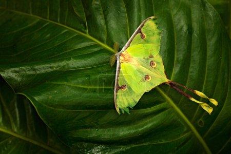 Luna moth, Actias luna, hermosa mariposa verde amarilla de Florida, EE.UU. Vegetación colorida grande de la naturaleza del insecto, mariposa que se sienta en la licencia .