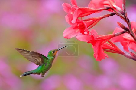 Hummingbird Green-crowned Brilliant, Heliodoxa jacula, green bird from Costa Rica flying next to beautiful red flower with pink bloom background.