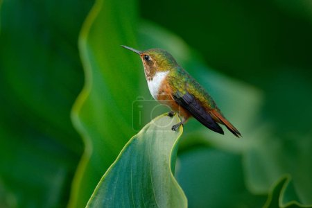 Volcano Hummingbird, Selasphorus flammula, female of small bird on the green leaves, animal in the nature habitat, mountain tropical forest, wildlife from Costa Rica. Hummingbird sitting on the leave.