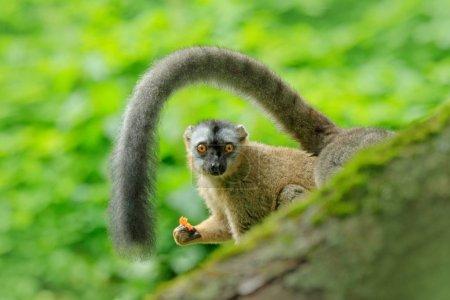 Redfronted lemur Eulemur rufifrons monkey