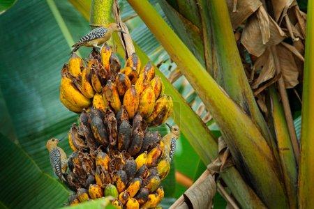 Foto de Grupos de pájaros carpinteros que se alimentan de árbol de plátano. Hoffmannii Hoffmann carpintero Melanerpes, en el hábitat de la naturaleza, comportamiento de aves. Escena de la vida silvestre del bosque tropical, Carara Np, Costa Rica. - Imagen libre de derechos