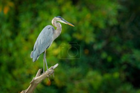 great blue heron, Ardea herodias, bird in dark tropical forest, sitting near the rever. Heron in nature green vegetation. Wildlife scene from forest of Costa Rica.