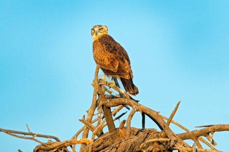 Brown snake eagle, Circaetus cinereus, bird with grey plumage. Eagle sitting on the top of the tree, blue sky in the background. Wildlife scene from African nature, Okavango delta, Moremi, Botswana