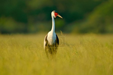 Wattled crane, Grus carunculata, with red head, wildlife from Okavango delata, Moremi, Botswana. Big bird in the nature habitat, green meadow. Wildlife Africa.