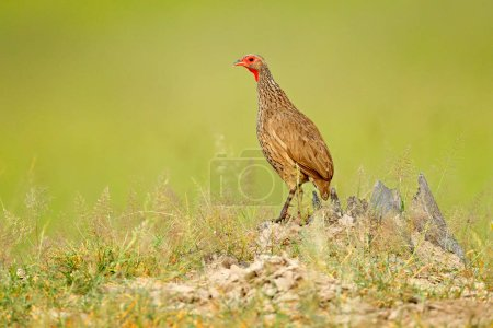 Red-necked Francolin, Pternistis afer,  bird in the nature habitat, Okavango, delta, Botswana, Africa. Evening light with bird sitting on the tree trunk.