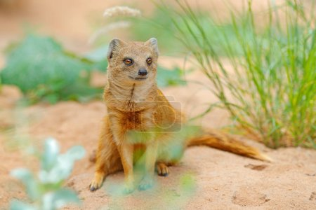Yellow Mongoose, Cynictis penicillata, sitting in sand with green vegetation. Wildlife from Africa. Cute mammal with long tail.