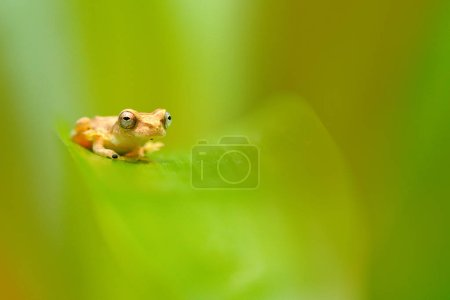 Dendropsophus microcephalus, Small-headed Tree frog sitting on the green leaves in the nature forest habitat, Costa Rica. Rare animal from Central America.