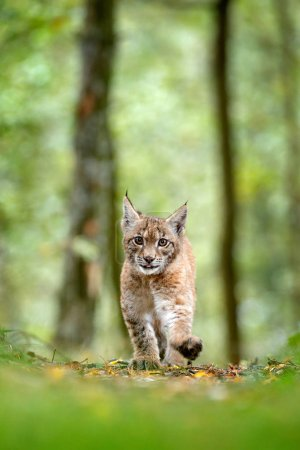 Young Lynx in green forest. Wildlife scene from nature. Walking Eurasian lynx, animal behaviour in habitat. Cub of wild cat from Germany. Wild Bobcat between the trees. Hunting carnivore in autumn grass.
