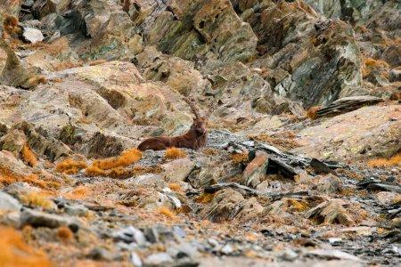 Alpine Ibex Capra ibex with