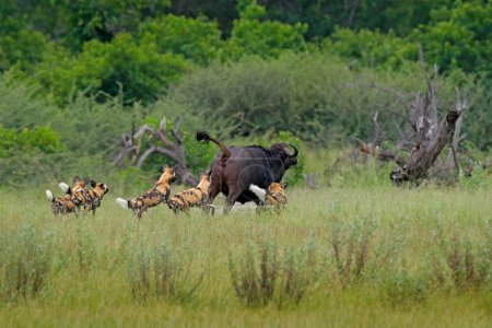 Wild Dog Hunting in Botswana, buffalo cow and calf with predator.