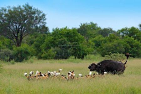 Wild Dog Hunting in Botswana, buffalo cow and calf with predators