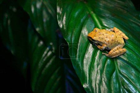 Spot-legged Hong Kong Whipping Frog in forest habitat sitting on green leave