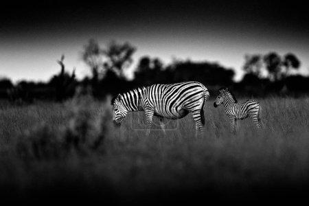 Black and white zebras with dark sky, Nxai Pan National Park, Botswana, Africa.
