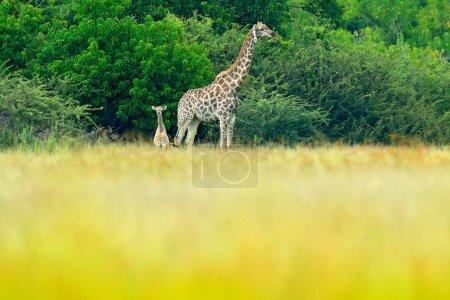 Giraffes in green forest, Okavango delta, Botswana in Africa.