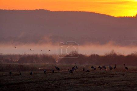 Photo pour Grues grises à long cou sur prairie - image libre de droit
