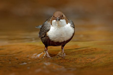 White-throated Dipper perched in water, closeup
