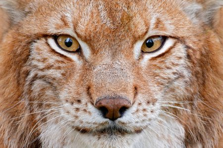 close up of Lynx face portrait with beautiful eyes