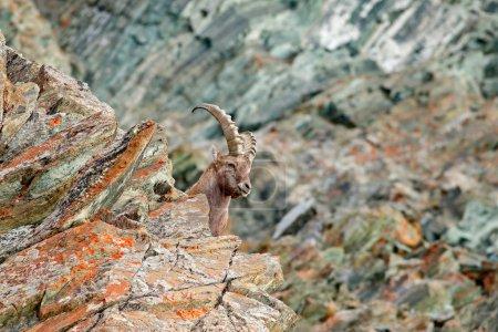 Alpine Ibex with autumn mountain