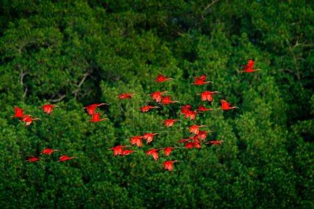 Photo pour Troupeau d'oiseaux rouges exotiques volant sur fond d'arbres vert foncé, Marais de Caroni, Trinité-et-Tobago, Caraïbes . - image libre de droit