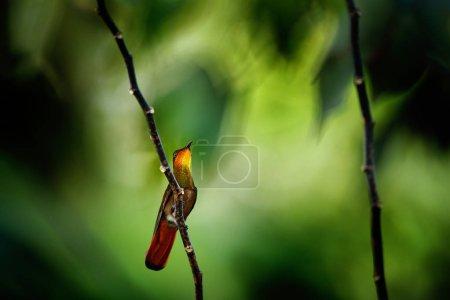 Photo pour Colibri rubis-topaze rouge et jaune, moustique Chrysolampis, en forêt tropicale sombre, aspect frontal avec tête orange brillant, queue déployée, île Tobago, Trinité-et-Tobago . - image libre de droit