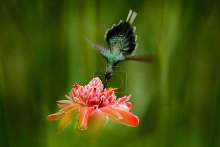Photo pour Oiseau brillant volant à côté de belle fleur rose rouge dans la jungle. Action scène d'alimentation dans la forêt tropicale, animal dans la nature jungle habitat. Hermite vert, Phaethornis guy, colibri rare de Trinidad . - image libre de droit