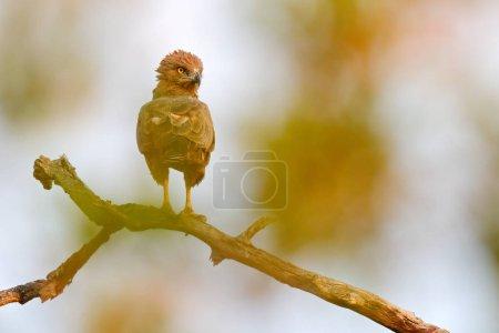 Photo pour Aigle brun, Circaetus cinereus, oiseau de proie brun et noir dans l'habitat naturel, assis sur la branche, Kruger NP, Afrique du Sud. Scène animalière de la nature . - image libre de droit