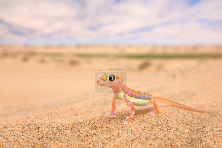 Photo pour Gecko de Namib dune de sable, Namibie. Pachydactylus rangei, palmato gecko à pattes palmées dans l'habitat naturel désertique. Lézard dans le désert namibien avec ciel bleu avec nuages, grand angle. Nature sauvage . - image libre de droit