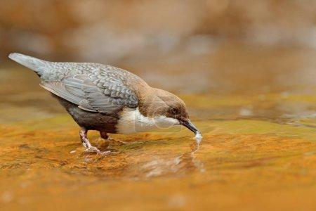 Photo pour Bécasseau à gorge blanche, Cinclus cinclus, oiseau brun à gorge blanche dans la rivière, chute d'eau en arrière-plan, comportement animal dans l'habitat naturel, nourriture dans le bec, période de nidification, faune Allemagne . - image libre de droit
