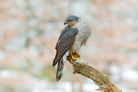 Photo for Eurasian sparrowhawk, Accipiter nisus, sitting on the snow in the forest with caught little songbird. Wildlife animal scene from nature. Bird in the winter forest habitat. - Royalty Free Image