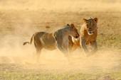 """Постер, картина, фотообои """"Львы бой в песок. Лев с открытым морды. Пара африканские львы, Лев, детали крупных животных, Этоша Np, Намиб в Африке. Кошки в природе обитания. Поведение животных в Намибии"""""""