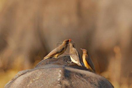 Photo pour Pic à bec jaune, Buphagus africanus, en fourrure brune de gros buffle. Bird behaviour in savannah, Kruger National Park, South Africa. Scène animalière de la nature africaine . - image libre de droit