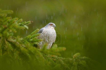 Photo pour Oiseau de proie Épervier d'Eurasie, Accipiter nisus, assis sur un épinette lors de fortes pluies dans la forêt. Oiseau dans l'habitat vert. Épervier dans le bois pluvieux dans la nature, Allemagne, Europe faune et flore . - image libre de droit