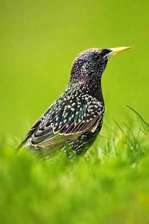 Photo pour Étourneau d'Europe, Sturnus vulgaris, oiseau sombre dans un beau plumage marchant dans l'herbe verte, animal dans l'habitat naturel, printemps, Allemagne - image libre de droit