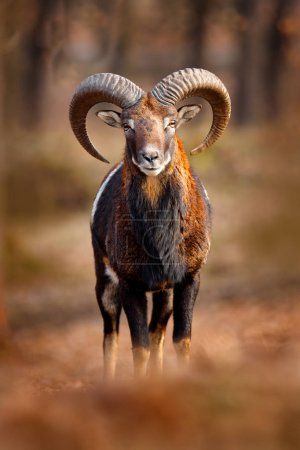 Mouflon, Ovis orientalis, portrait of mammal with ...