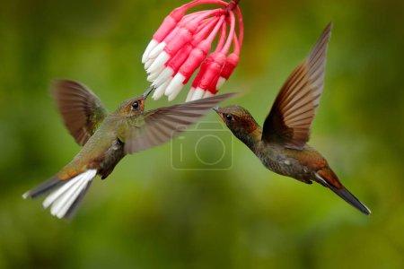 Photo pour Deux colibris à fleurs roses, en vol. Vol de l'étoile des bois à gorge violette, Calliphlox mitchellii, dans la fleur en fleurs, Colombie, faune de la jungle tropicale . - image libre de droit