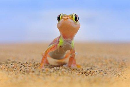 Photo pour Gecko de Namib dune de sable, Namibie. Pachydactylus rangei, palmato gecko à pattes palmées dans l'habitat naturel désertique. Lézard en Namibie désert avec ciel bleu avec nuages, grand angle. Nature sauvage . - image libre de droit