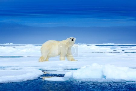 Белый медведь на льду. Два медведя любят на дрейфующем льду со снегом, белые животные в естественной среде обитания, Шпицберген, Норвегия. Животные играют на снегу, арктическая дикая природа. Забавный образ в природе .