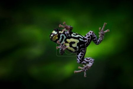 Photo for Frog fly. Ranitomeya vanzolinii, Brazilian spotted poison frog, in the nature forest habitat. Dendrobates from from central Peru and Brazil. Beautiful amphibian green vegetation, tropic jungle flight. - Royalty Free Image