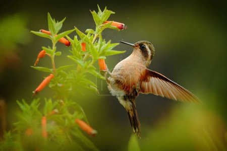 Photo pour Faune tropicale. Colibri buvant du nectar de fleur rose. Scène d'alimentation avec Colibri moucheté. Oiseau de forêt tropicale colombienne. Oiseau exotique avec fleur dans la forêt . - image libre de droit