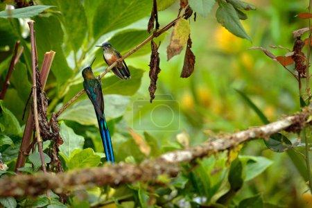 Photo pour Colibri frm Colombie dans la fleur en fleurs, Colombie, faune de la jungle tropicale. Scène animalière de la nature. Colibri à fleur rose, en vol. - image libre de droit