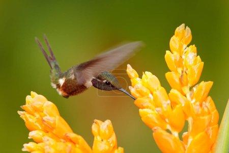 Photo pour Colibri de Colombie en fleur, Colombie, faune de la jungle tropicale. Scène animalière de la nature. Colibri à fleur rose, en vol. Étoile à gorge violette Calliphlox mitchellii . - image libre de droit