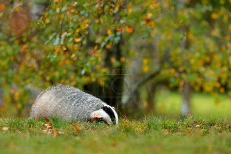 Photo pour Blaireau dans la forêt, animal dans l'habitat naturel, Allemagne, Europe. Blaireau sauvage, Meles meles, animal en bois. Mammifère dans l'environnement, jour de pluie. Nature sauvage . - image libre de droit