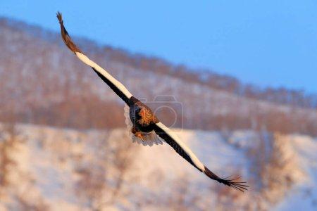 Photo for Steller's sea eagle, Haliaeetus pelagicus, bird with white snow, Hokkaido, Japan. Wildlife action behavior scene from nature. Eagle sitting on the ice lake. - Royalty Free Image