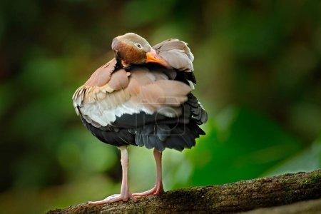 Photo pour Canard siffleur à ventre noir, Dendrocygna autumnalis, oiseau brun dans l'habitat naturel, Costa Rica. Canard assis sur la branche. Scène animalière d'Amérique centrale . - image libre de droit