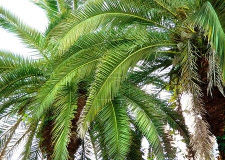Photo pour Fond tropical avec des feuilles de palmier - image libre de droit