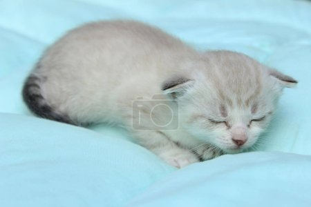 Pets, Animals Concept. White Kitten Over Blue Back...