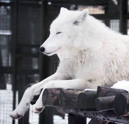 Photo pour Loup blanc dormant, gros plan - image libre de droit